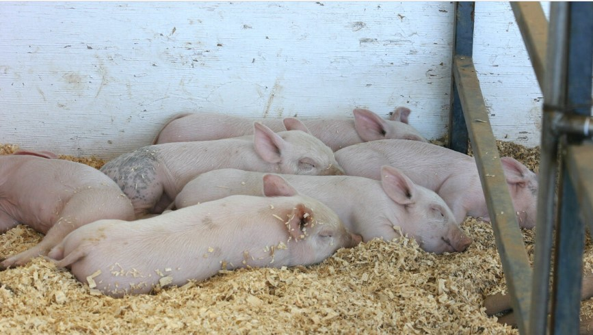 Tus cerdos sufren de caudofagia: He aquí todo lo que necesitas saber